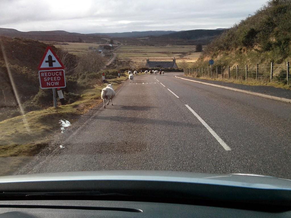 Schafe auf schottischen Landstraßen