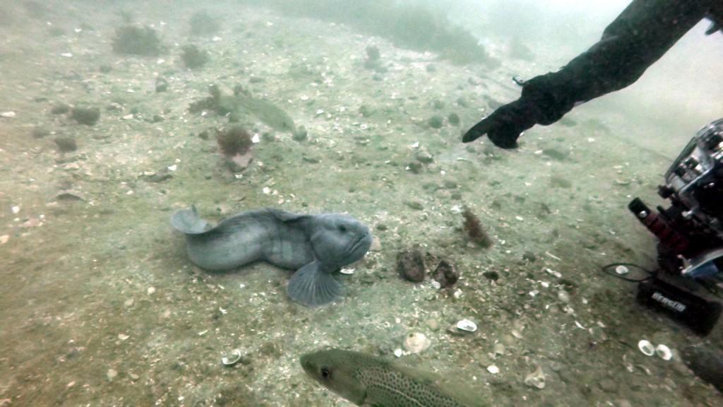 In Island gibt es keine Hunde,deshalb bringen sie Wolfsfischen 'Sitz' und 'Platz' bei... ;-)
