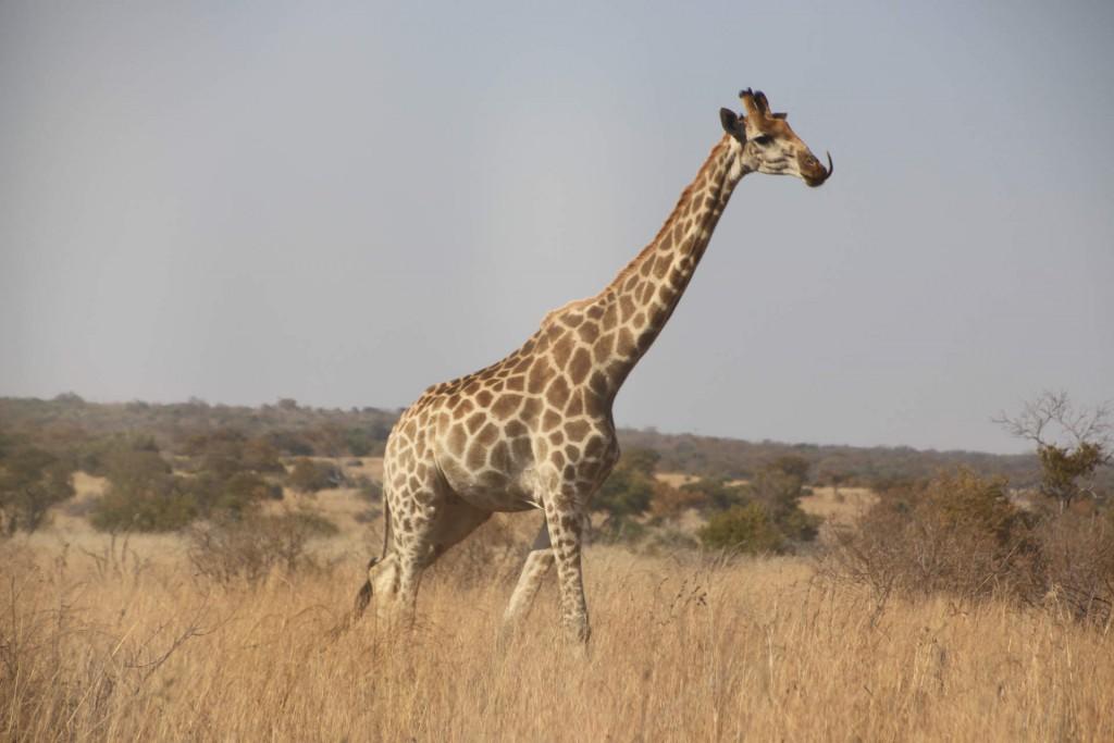 Giraffenzunge