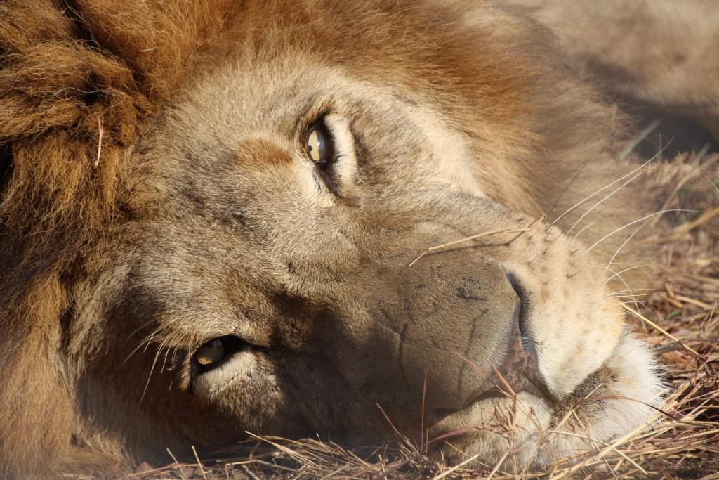 Löwe mit Schlafzimmerblick
