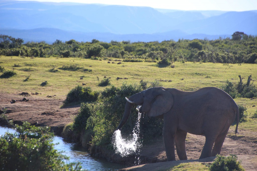 Großer Durst: Über 100 Liter Wasser trinkt ein Elefant am Tag