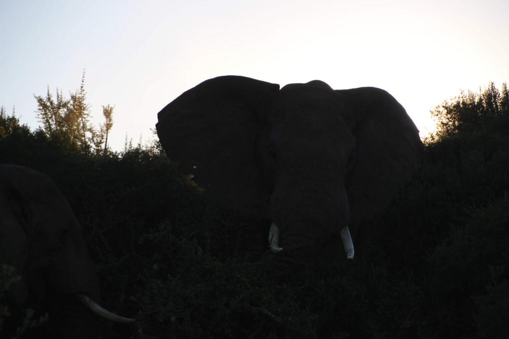 Ein Elephantenbulle im Addo nationalpark