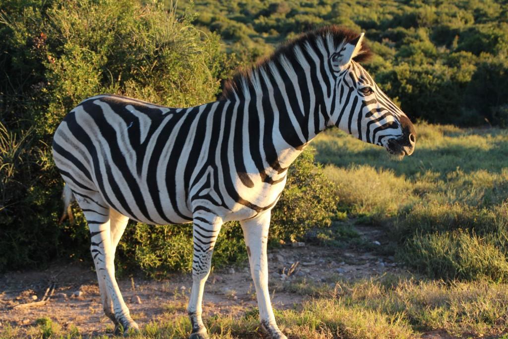 Auch Zebras leben in Addo