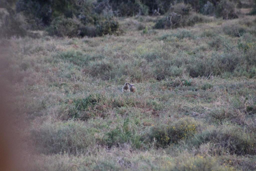 Erdmännchen in Addo