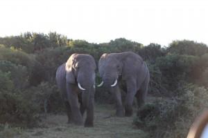 addo-elefanten-nationalpark-suedafrika_6357