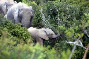 addo-elefanten-nationalpark-suedafrika_6543